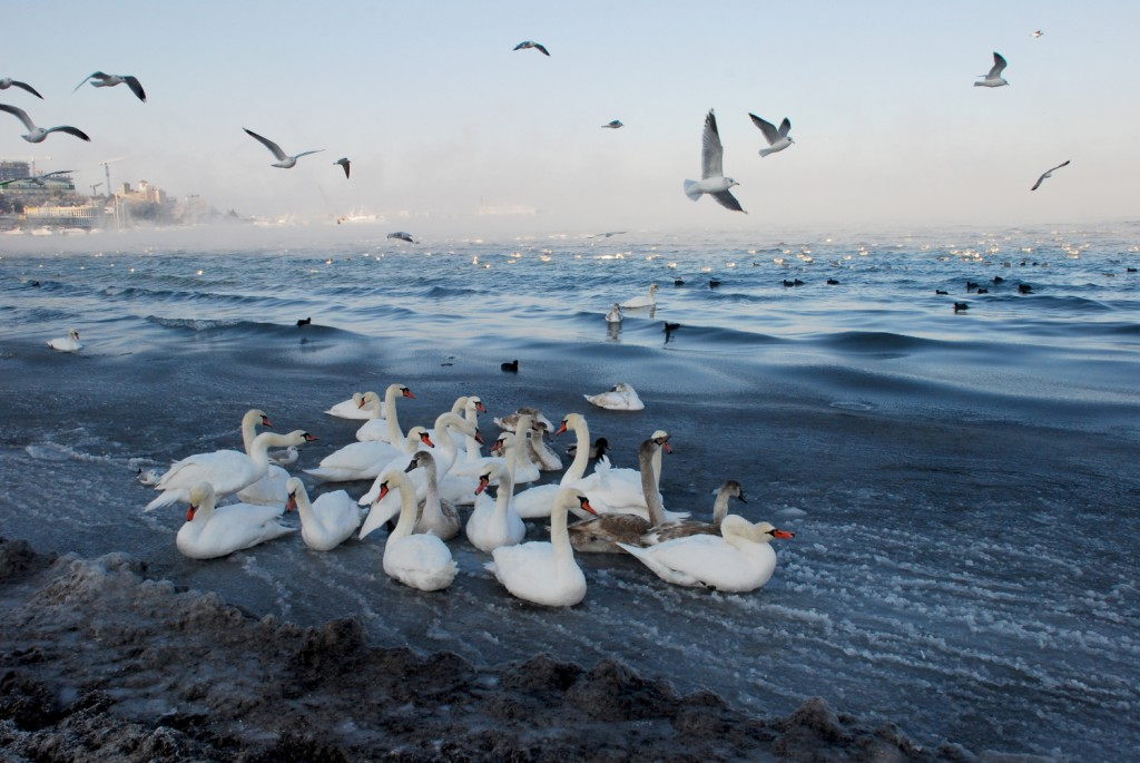 """""""Лебеди"""""""